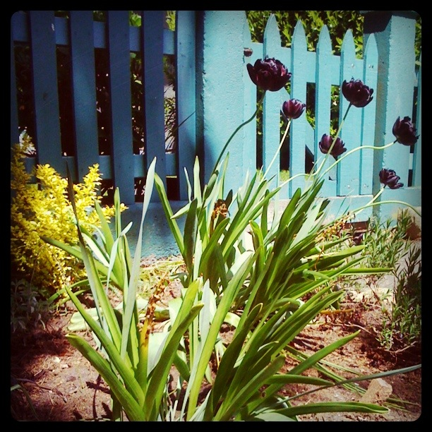 Instagram version (brighter, deeper colours and greater contrast between shadows and light) of Frilly, dark purple tulips with long, curvy stems against a green fence, with yellow flowers in the background and a mixture of shadows and light.