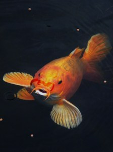Orangy koi fish coming up for food.