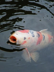 Mottled, mostly white koi fish grabbing a snack.