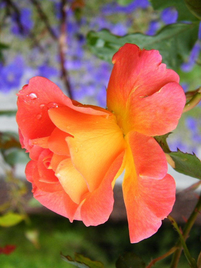A close up of a yellow and orange rose, not yet fully opened, with purple flowers in the background.