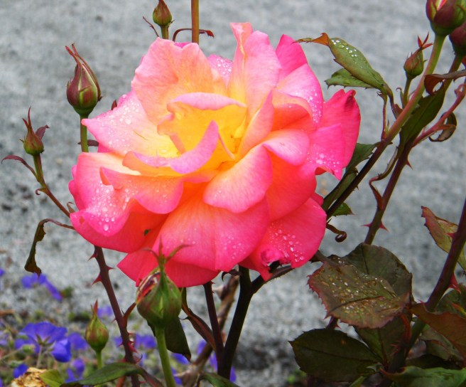A fully bloomed rose, yellow in the centre, turning to light pink and then fuschia toward the edges.