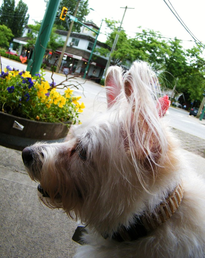 My walking companion, Roxy, with a flowerbed and streetscape in the background.