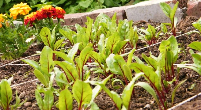 Beets sprouting, with marigolds in the background.