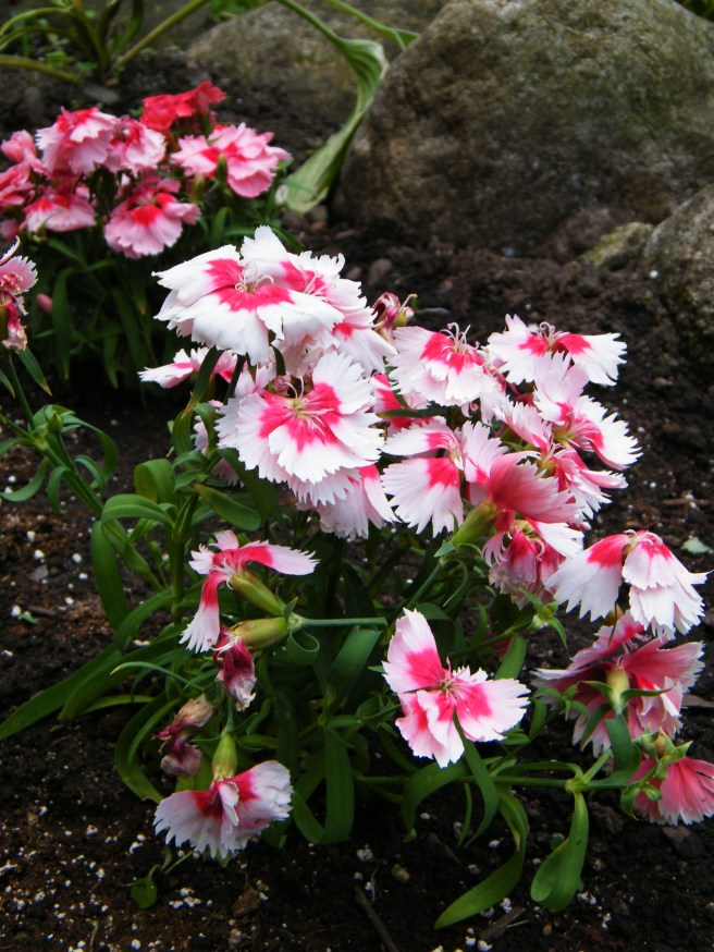 Pink and pinker dianthus.