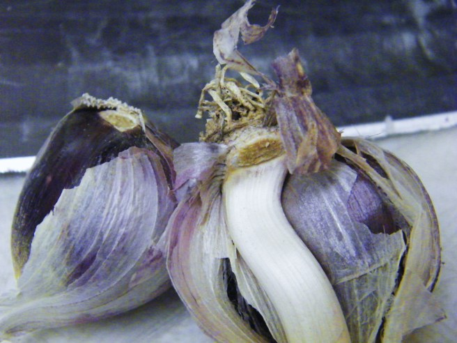 Garlic from my Dad's garden, all purple and white.