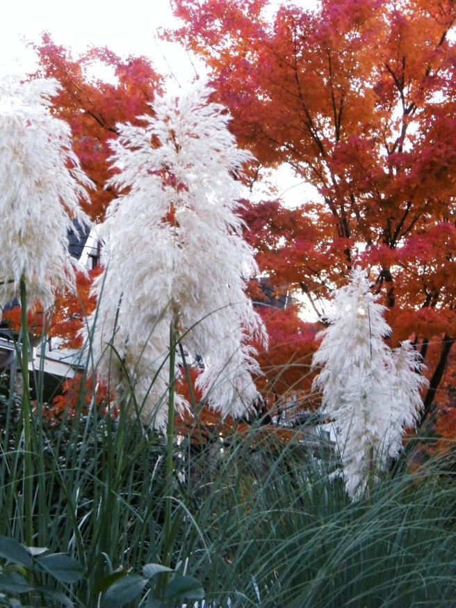 Showy grasses, against a Japanese maple.