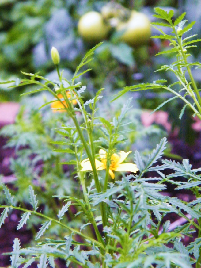 Marigold with someday-to-ripen tomatoes in the background