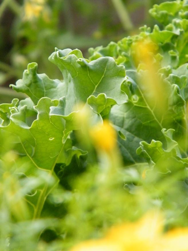 Kale, behind marigold.