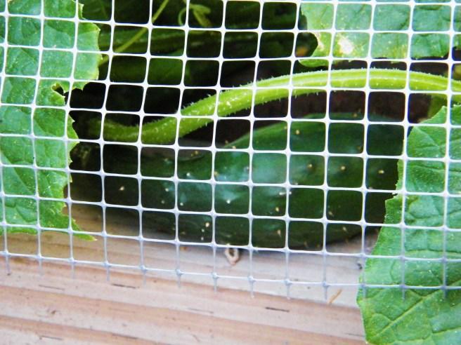 A cucumber, behind garden netting