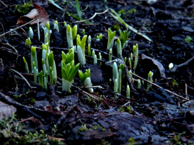 Crocus shoots from this January