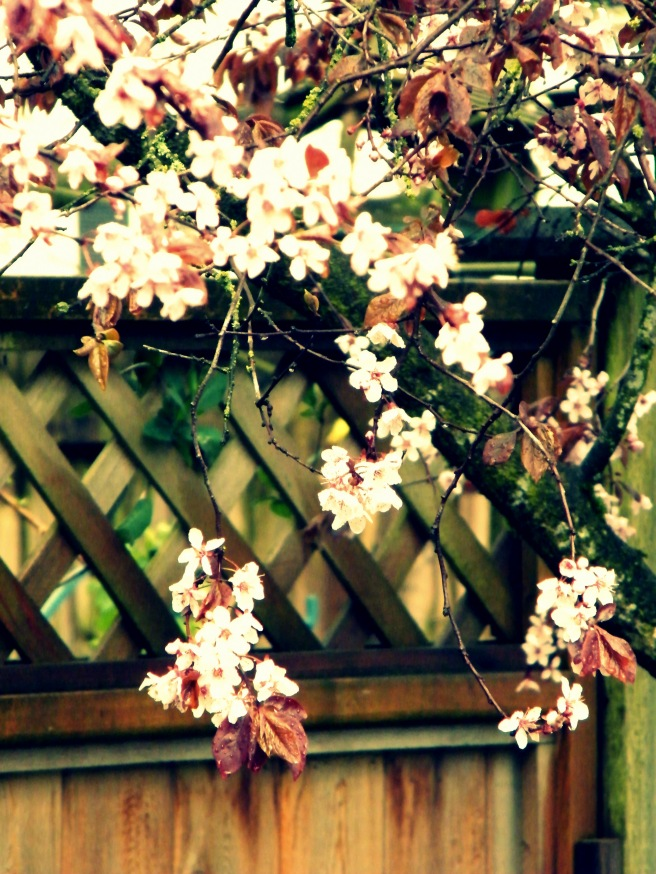 Blossoms against a fence.