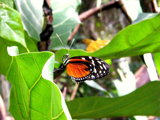 A red and black butterfly in the tropical rainforest exhibit.