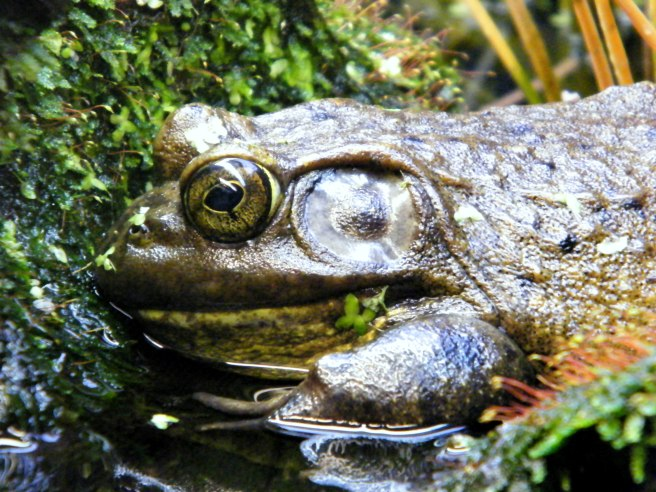 Bullfrog at rest.