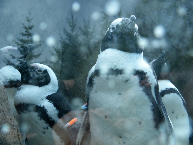 South African penguins, through a glass darkly.