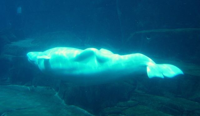 Luminous beluga, doing the backstroke.