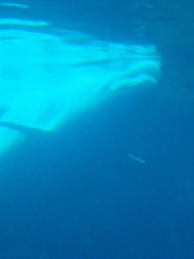 Beluga of mystery.