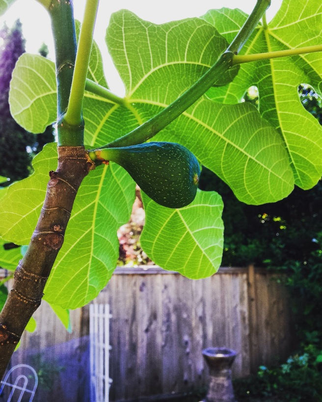 A fig sprouting