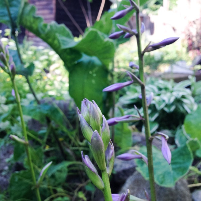 The hostas are flowering