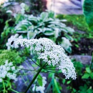 Wild carrot, with pollinators
