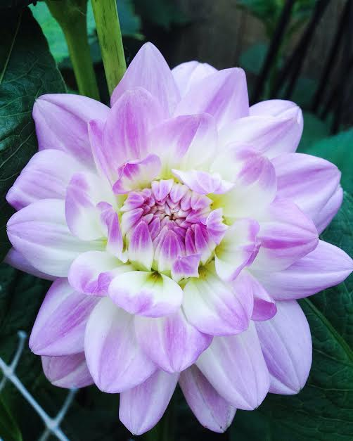 Lavender and gold dahlia