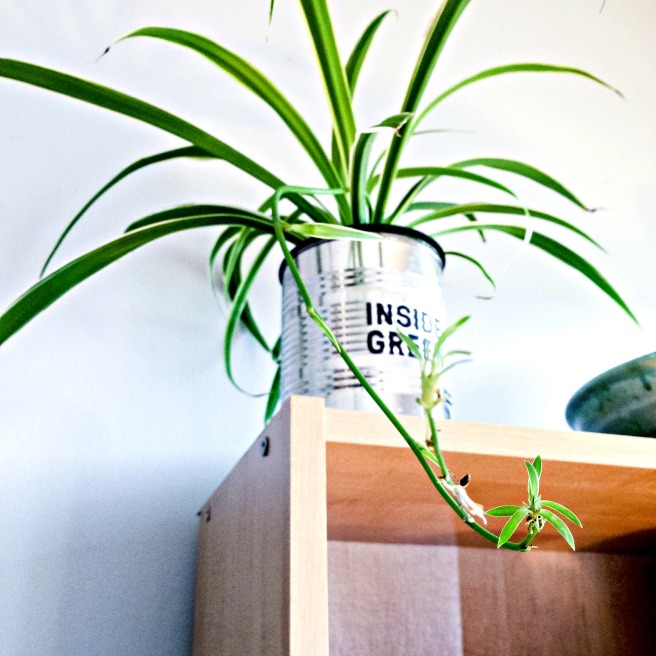 Spider plant from Inside Green