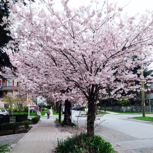 It's blossom time in Vancouver